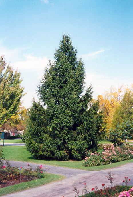 Norway Spruce (Picea abies) at Iowa City Landscaping - Norway Spruce (Picea Abies) In Iowa City Cedar Rapids Iowa IA At