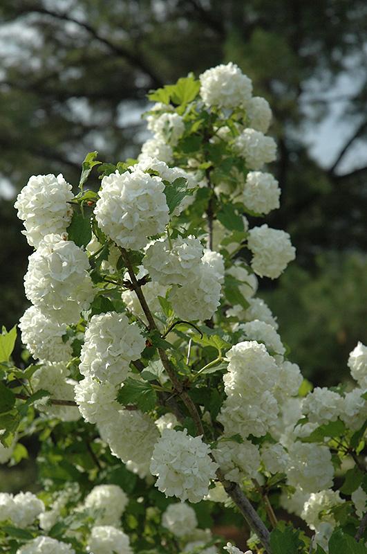 snowball viburnum viburnum opulus 39 roseum 39 in iowa city. Black Bedroom Furniture Sets. Home Design Ideas
