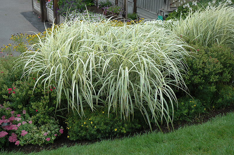 Variegated Silver Grass (Miscanthus sinensis 'Variegatus') at Iowa City  Landscaping - Variegated Silver Grass (Miscanthus Sinensis 'Variegatus') In Iowa