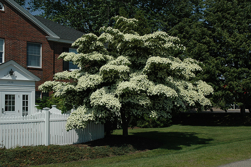 Chinese Dogwood (Cornus kousa) at Iowa City Landscaping - Chinese Dogwood (Cornus Kousa) In Iowa City Cedar Rapids Iowa IA At