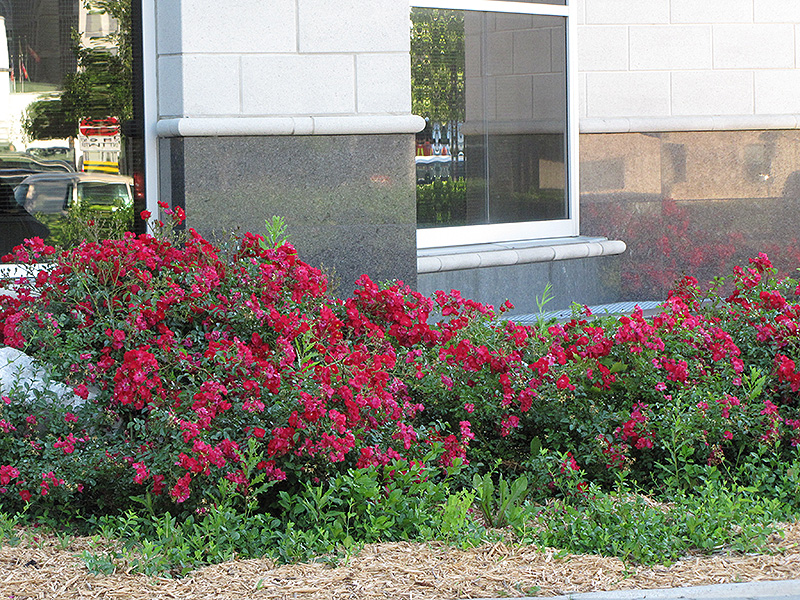 Flower Carpet Red Rose (Rosa 'Flower Carpet Red') at Iowa City Landscaping - Flower Carpet Red Rose (Rosa 'Flower Carpet Red') In Iowa City Cedar
