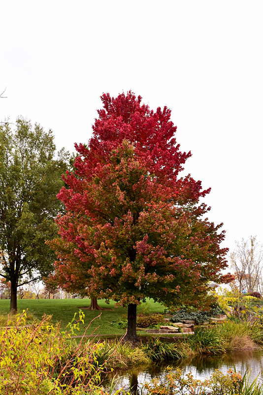 Red Sunset Red Maple (Acer rubrum 'Red Sunset') at Iowa City Landscaping - Red Sunset Red Maple (Acer Rubrum 'Red Sunset') In Iowa City Cedar