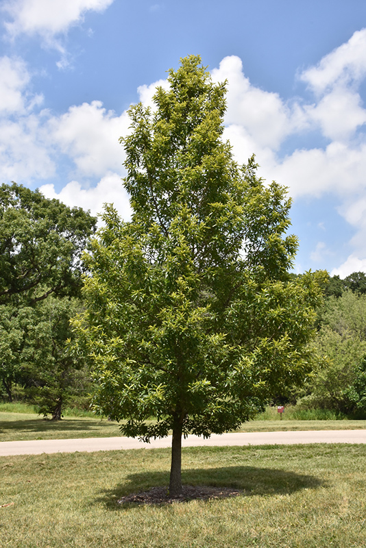 Sawtooth Oak (Quercus acutissima) at Iowa City Landscaping - Sawtooth Oak (Quercus Acutissima) In Iowa City Cedar Rapids Iowa IA