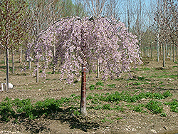 Pink Snow Showers Weeping Cherry (Prunus 'Pisnshzam') at Iowa City Landscaping