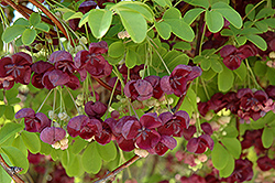 Fiveleaf Akebia (Akebia quinata) at Iowa City Landscaping