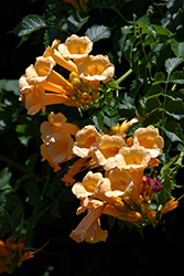 Yellow Trumpetvine (Campsis radicans 'Flava') at Iowa City Landscaping