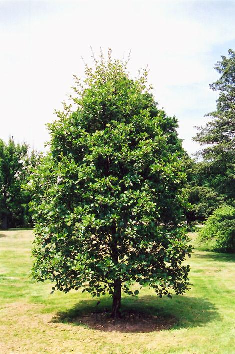 Common Alder (Alnus glutinosa) in Iowa City Cedar Rapids ...