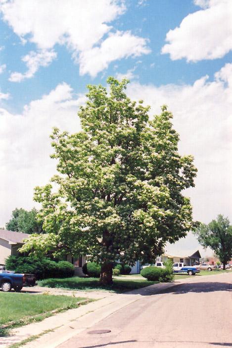 Northern Catalpa Speciosa In Iowa City Cedar